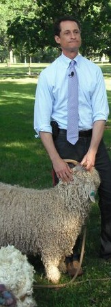 Anthony Weiner tries to control his sheep